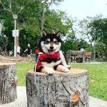 シンガポールのLim様から<極小豆柴犬コービーくん>のお便り