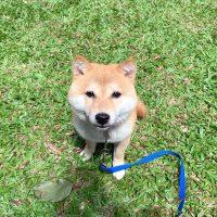 シンガポールのMike様から<極小豆柴犬ミカちゃん>のお便り