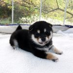 極小豆柴母犬 シータちゃんの子b