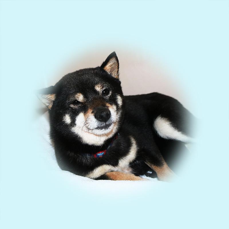 極小豆柴母犬 アポロちゃん