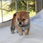 極小豆柴母犬 ツキミちゃんの子