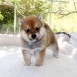 極小豆柴母犬 アロマちゃんの子c