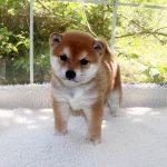 極小豆柴母犬 エルサちゃんの子b