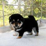 極小豆柴母犬 マリノちゃんの子b