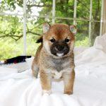 極小豆柴母犬 マユちゃんの子