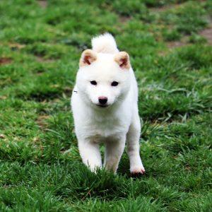 TH-050 直ぐに飼える豆柴犬