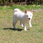 TH021 極小豆柴成犬
