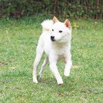 TH022 極小豆柴成犬