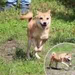TH035-極小豆柴成犬