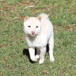 TH036-極小豆柴成犬