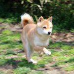 TH038 極小豆柴成犬