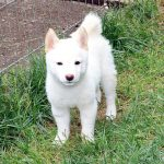 TH40_極小豆柴母犬