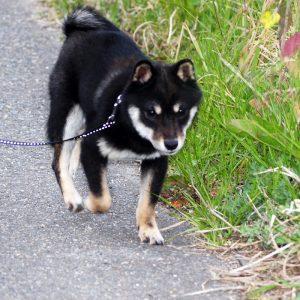 極小豆柴犬 サクラちゃん