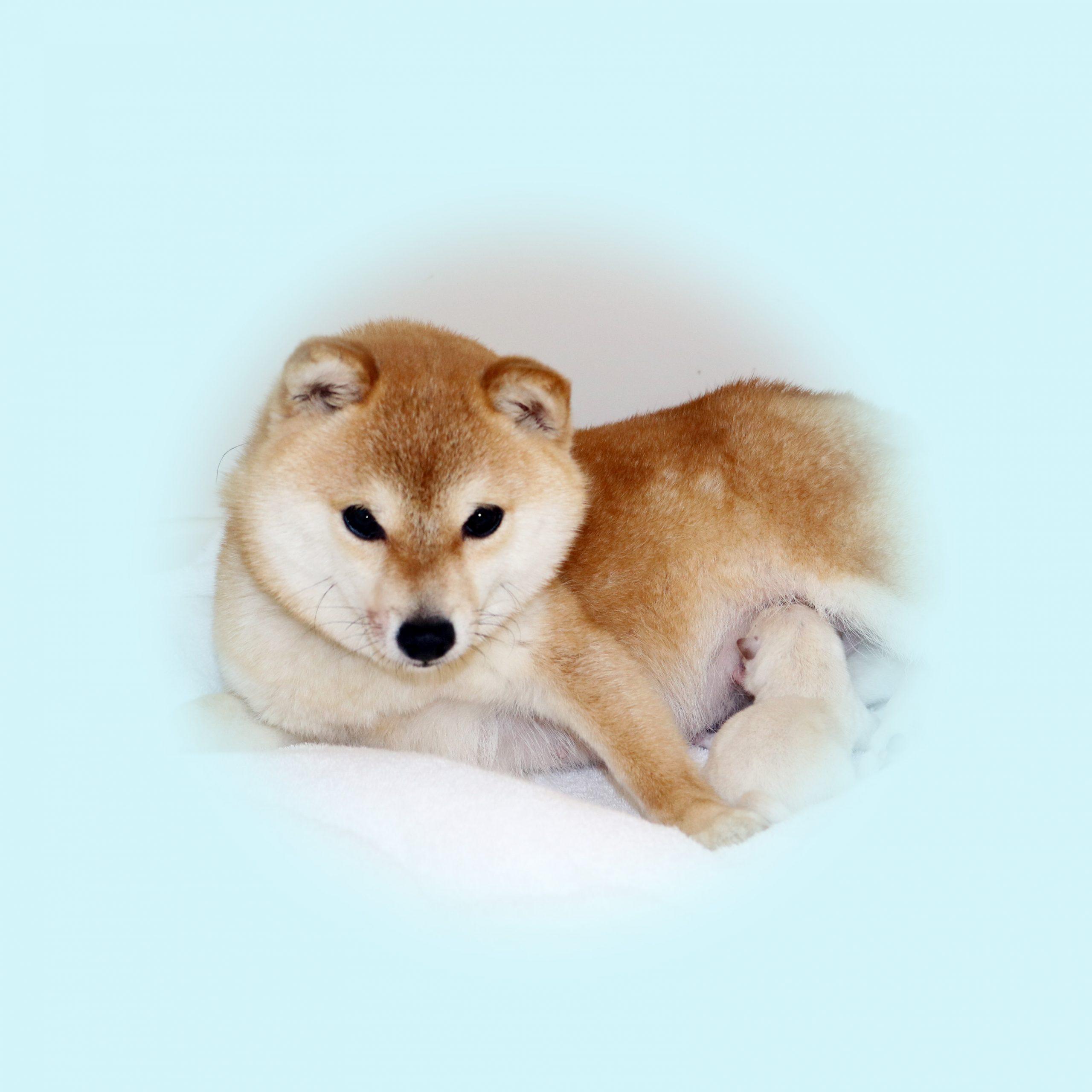極小豆柴母犬 ミクリちゃん