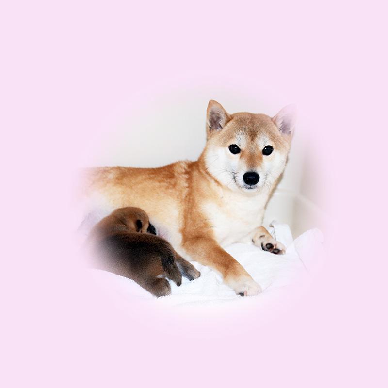 極小豆柴母犬 ニイちゃん