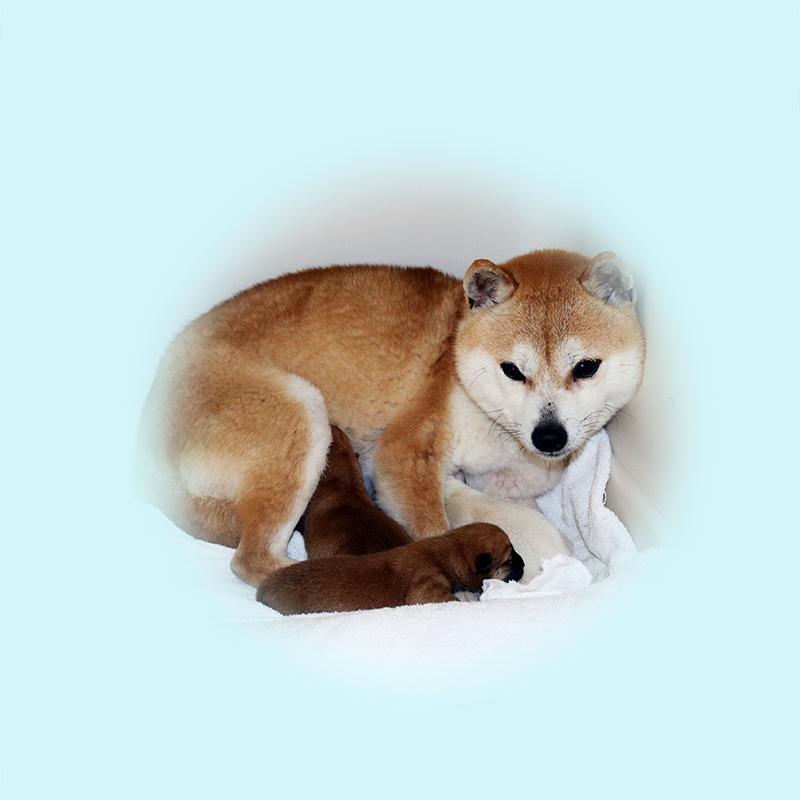 極小豆柴母犬 ナノちゃん
