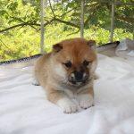 極小豆柴母犬 ナノちゃんの子b