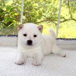 極小豆柴母犬 ナノちゃんの子犬