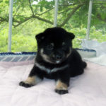 極小豆柴母犬 タマキちゃんの子犬