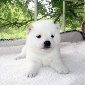 極小豆柴母犬 バジルちゃんの子b
