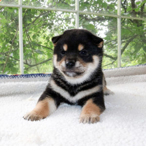 極小豆柴母犬 ナンちゃんの子