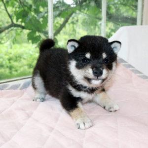 極小豆柴母犬 サンバちゃんの子