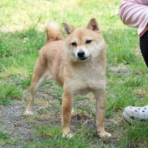 FP-060_極小豆柴犬