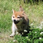 TH-051 直ぐに飼える極小豆柴若犬