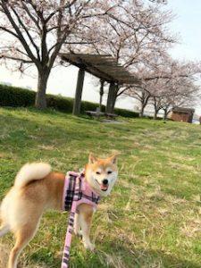 千葉の豆柴犬 リーちゃん