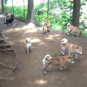 豆柴成犬の運動 お山編