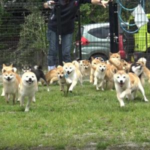 豆柴成犬の運動 お庭編