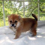 極小豆柴母犬 ユパちゃんの子犬