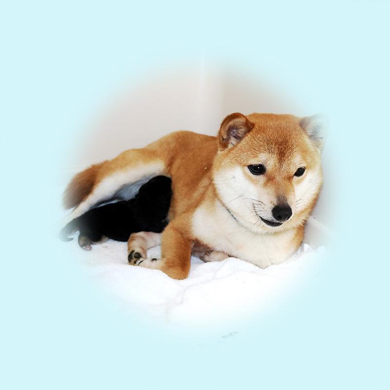 極小豆柴母犬 ナンちゃん