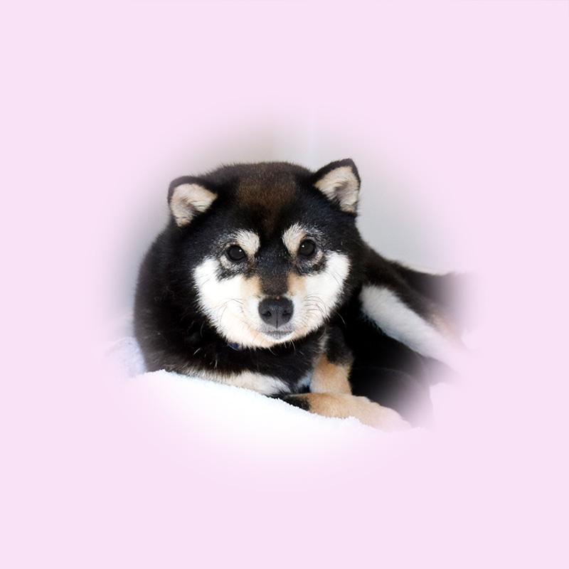 極小豆柴母犬 チャイナちゃん