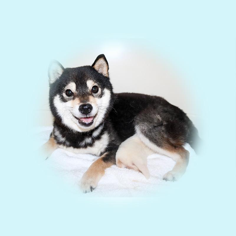 極小豆柴母犬 カキちゃん