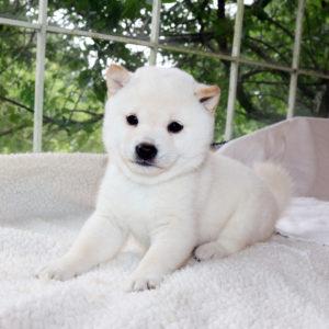 極小豆柴母犬 カキちゃんの子犬