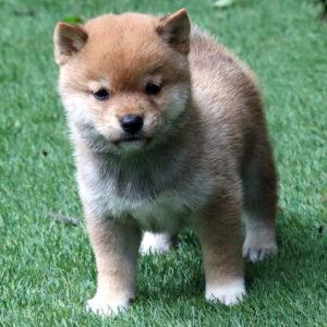 極小豆柴母犬 マフちゃんの子犬b