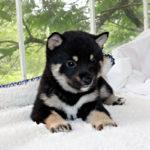 極小豆柴母犬 ナエちゃんの子犬
