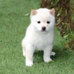 極小豆柴母犬 ミルキィちゃんの子犬