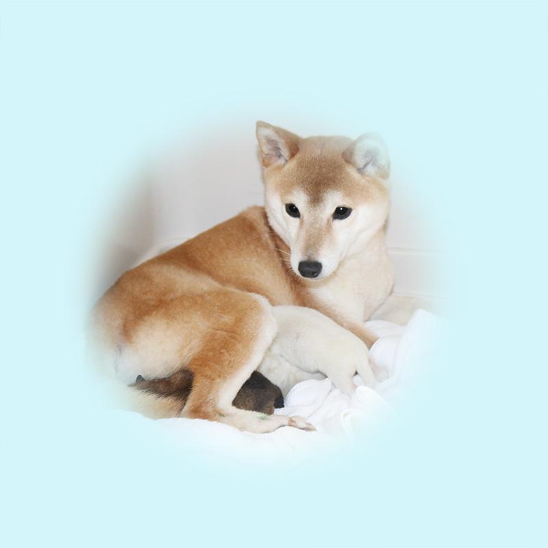 豆柴母犬 メンマちゃんの子