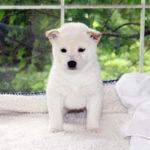 極小豆柴母犬 メンマちゃんの子犬c
