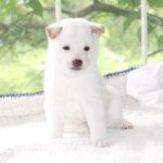 極小豆柴母犬 メンマちゃんの子犬b