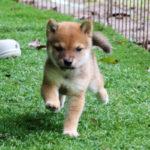 小豆柴母犬 エナガちゃんの子犬