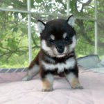 極小豆柴母犬 カゴメちゃんの子犬