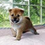 極小豆柴母犬 サヤカちゃんの子犬