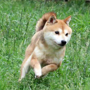 FP-059 社会性訓育済成犬