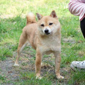 TR-010_極小豆柴犬 訓練犬