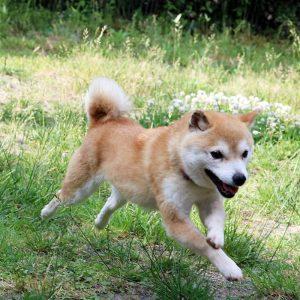 TR-011_極小豆柴犬 訓練犬