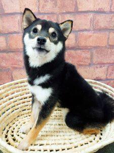 ad103秋葉原 小豆柴の郷の犬