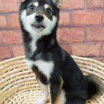 ad105 秋葉原 小豆柴の郷の犬